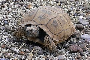 tortuga-terrestre